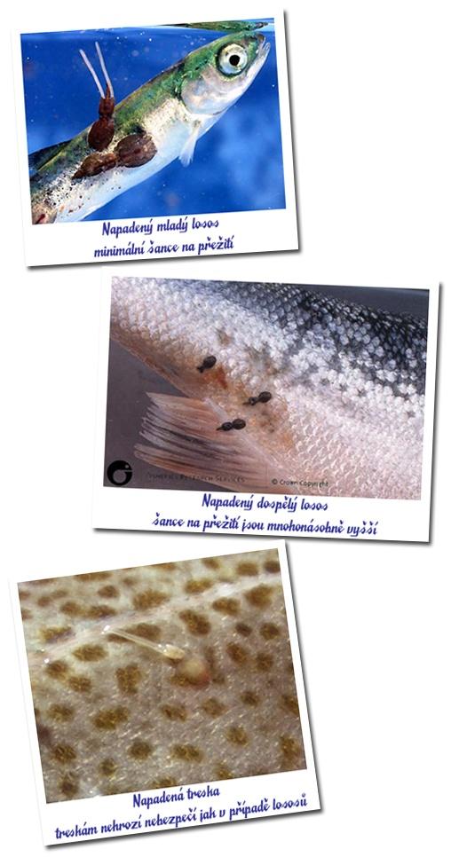 Paraziták morskych ryb Rákos szakmai társaságok