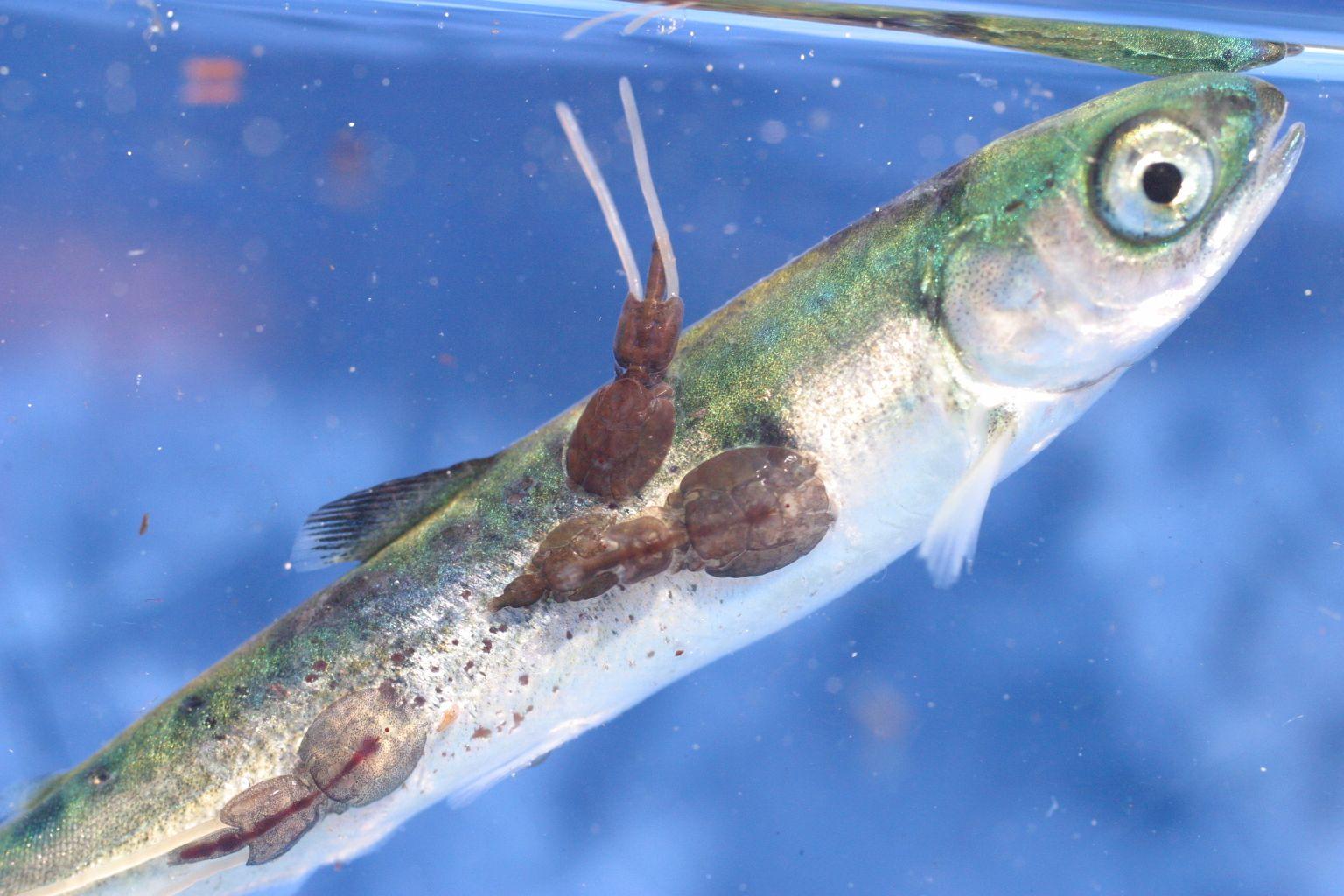 Paraziticka ryba, Hpv virus overdracht