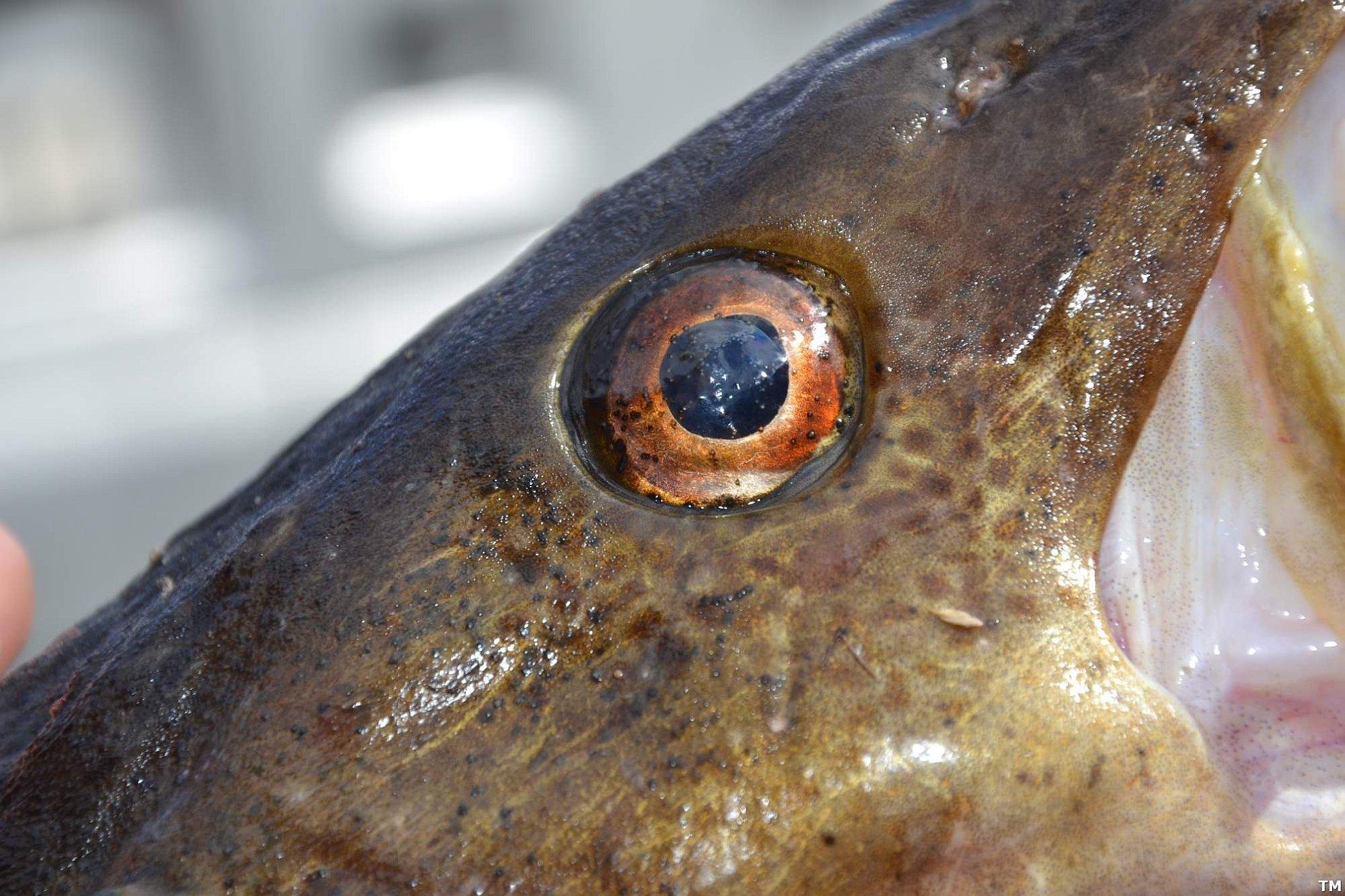 paraziták z ryb