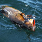 treska-obecna-na-hladine-5-9-2020c